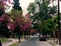 Lapachos en Santiago del Estero
